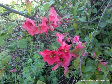 Flori roz - Foto - Cosmin Stefanescu  (2)