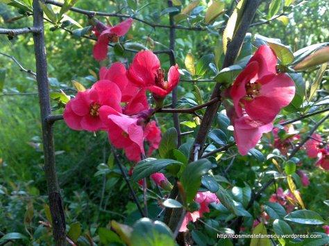 Flori roz - Foto - Cosmin Stefanescu  (3)
