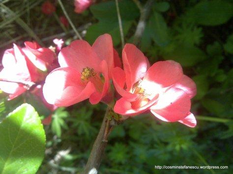 Flori roz - Foto - Cosmin Stefanescu - executate cu un Nokia n96