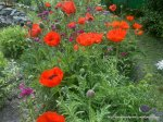 Maci infloriti - Foto Cosmin Stefanescu realizate cu un telefon Nokia N96 (10)