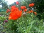 Maci infloriti - Foto Cosmin Stefanescu realizate cu un telefon Nokia N96 (11)