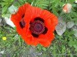 Maci infloriti - Foto Cosmin Stefanescu realizate cu un telefon Nokia N96 (12)