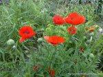 Maci infloriti - Foto Cosmin Stefanescu realizate cu un telefon Nokia N96 (3)