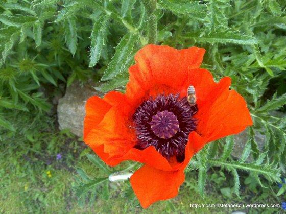 Maci infloriti - Foto Cosmin Stefanescu realizate cu un telefon Nokia N96