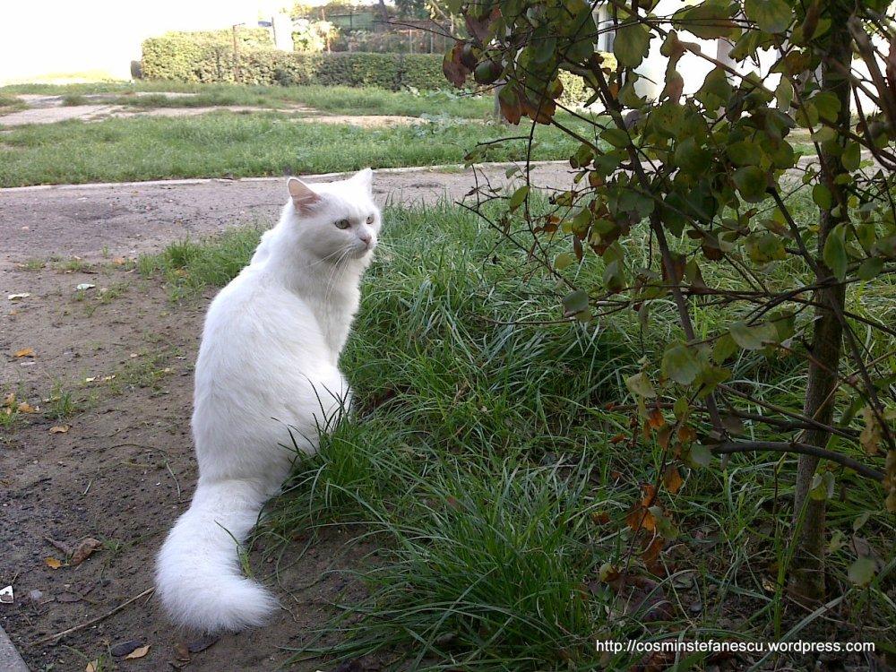 Amedeo - frumosul meu pisic alb - Foto Cosmin Stefanescu (3)
