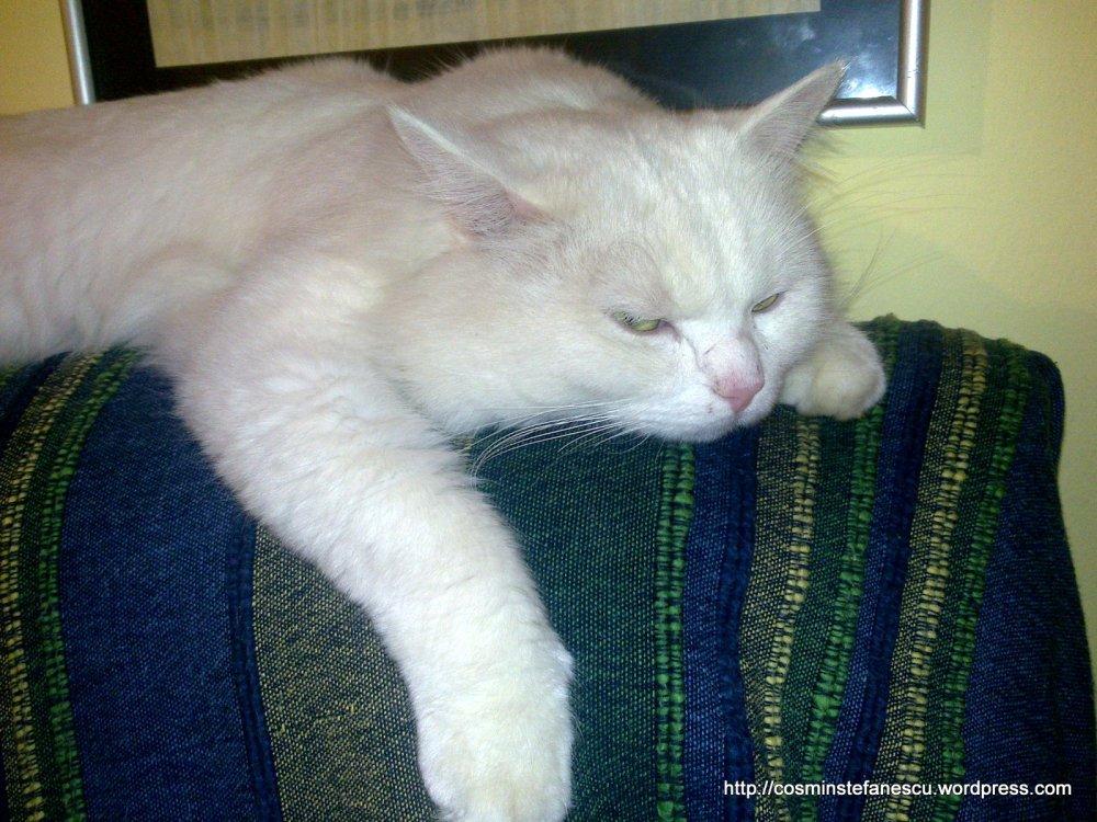 Amedeo - frumosul meu pisic alb se odihnește după o zi de alergătură - Foto Cosmin Stefanescu (4)