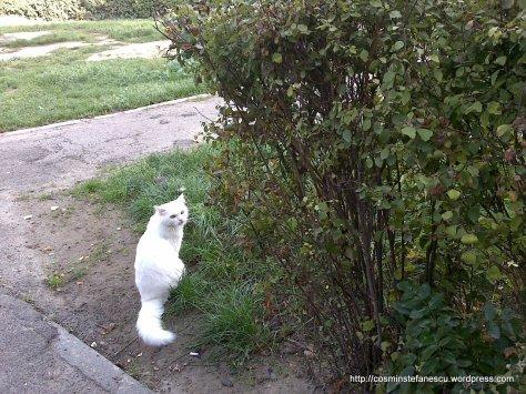 Amedeo - frumosul meu pisic alb - Foto Cosmin Stefanescu