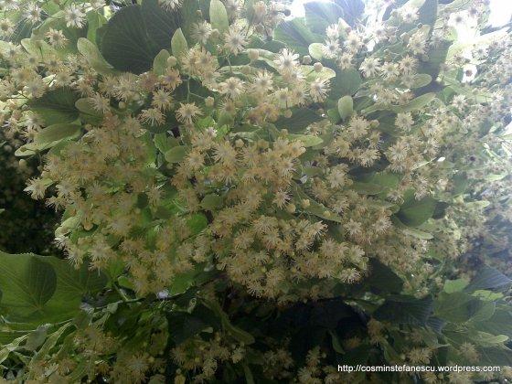 Flori de tei - Foto-Cosmin Stefanescu (2)