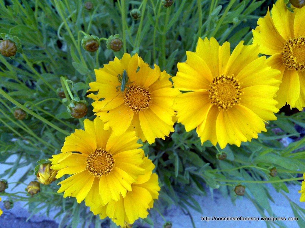 Flori galbene si un cosaș curios - Foto Cosmin Ștefănescu