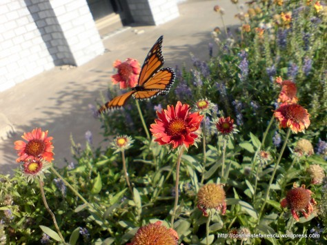 Fluture Monarch - Butterfly Monarch - Foto Cosmin Stefanescu in Perryton Texas (septembrie 2008)