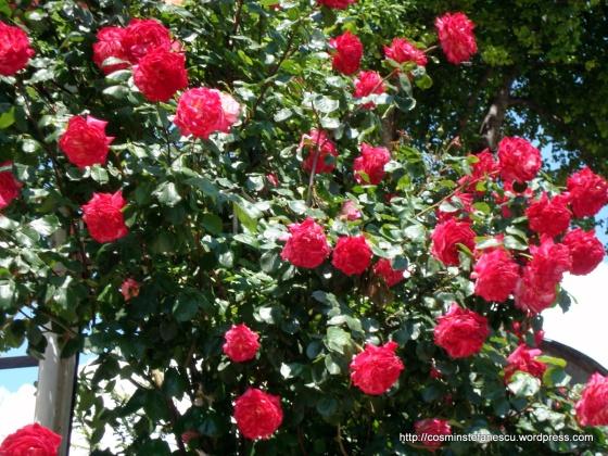 Trandafiri - explozie de culoare - Foto Cosmin Ștefănescu (2)