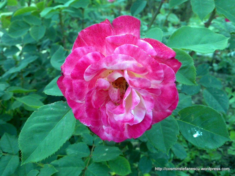 Trandafiri - explozie de culoare - Foto Cosmin Ștefănescu (5)