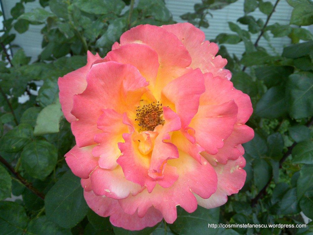 Trandafiri - Foto Cosmin Stefanescu (Nokia n96)