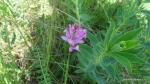 Flora specifica din zona Vulcanii noroiosi - Berca, Buzau - Foto Cosmin Stefanescu (2)