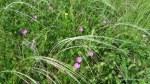 Geranium sanguineum - Zona vulcanii noroiosi - Berca, Buzau - Foto Cosmin Stefanescu (4)