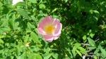 Maces - Rosa canina - Zona Vulcanii noroiosi - Berca, Buzau (1)