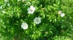 Maces - Rosa canina - Zona Vulcanii noroiosi - Berca, Buzau (2)