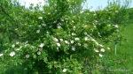 Maces - Rosa canina - Zona Vulcanii noroiosi - Berca, Buzau (3)