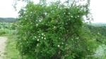 Maces - Rosa canina - Zona Vulcanii noroiosi - Berca, Buzau (5)