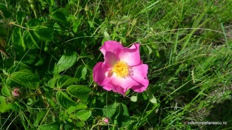 Rasura, Trandafirul de camp - Rosa gallica - Zona Vulcanii noroiosi - Berca, Buzau - Foto Cosmin Stefanescu (1)