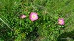 Rasura, Trandafirul de camp - Rosa gallica - Zona Vulcanii noroiosi - Berca, Buzau - Foto Cosmin Stefanescu (2)