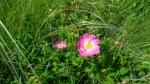 Rasura, Trandafirul de camp - Rosa gallica - Zona Vulcanii noroiosi - Berca, Buzau - Foto Cosmin Stefanescu (3)